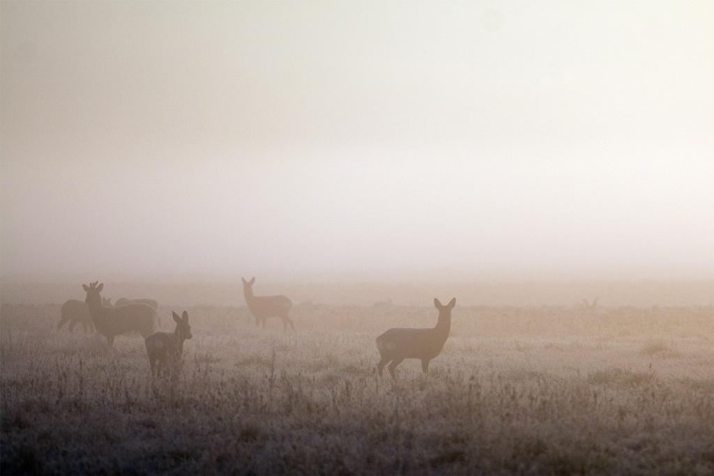 Chevreuils dans la brume