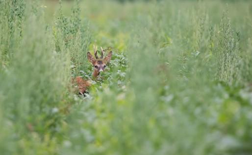 Chevreuil caché dans la végétation