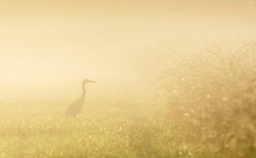 Un héron dans la brume