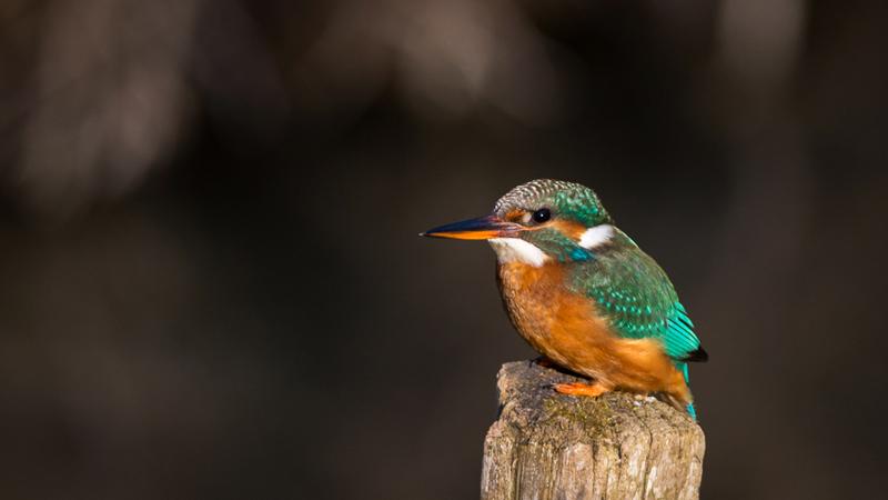 Martin-pêcheur femelle