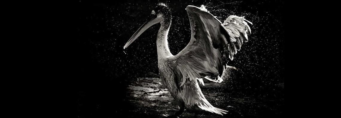 Pelicanslider