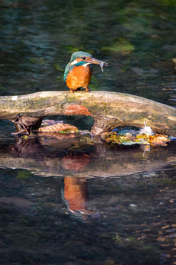Reflet d'un martin-pêcheur