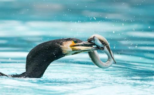 Un cormoran qui avale péniblement une anguille