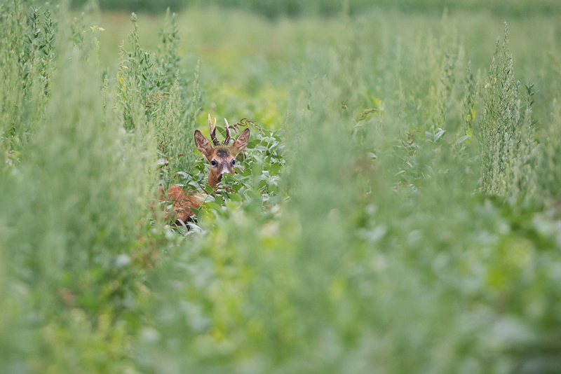 Chevreuil_vegetation