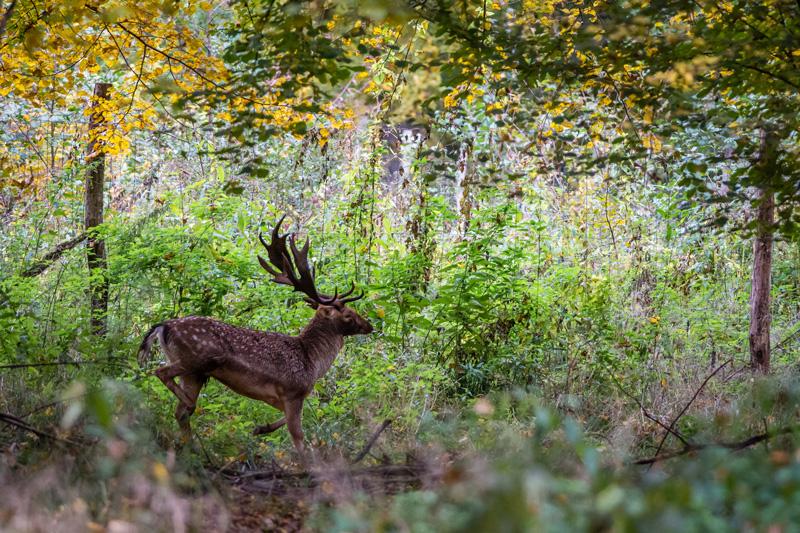 Daim dans la forêt de l'Illwald