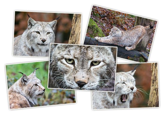 Lynx boréal - Stage photo à Sainte-Croix